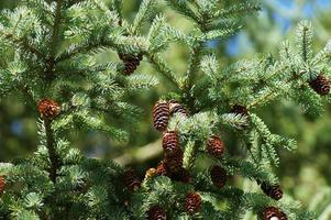 Close up pine branch with cone, outdoor scenery