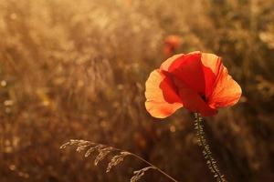 Red poppy in field at sunset