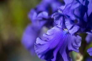 macro de iris foto