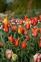 tulipanes multicolores