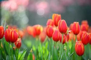 Red tulip field photo