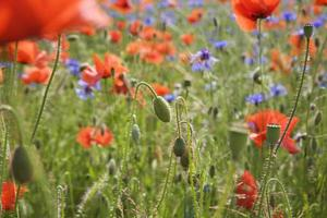 Germany, meadow with cornflower and corn poppies
