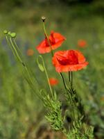 early morning red poppy field scene, nature