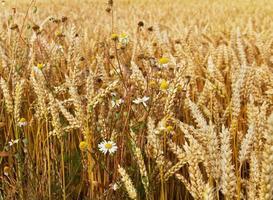 Growing wheat. photo