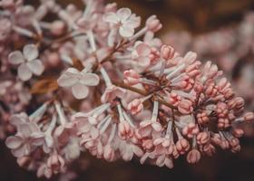 hermosas flores de primavera lila, imagen de tonos foto