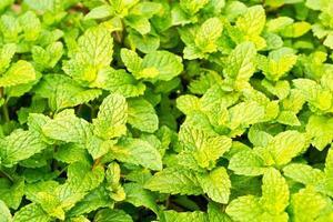 fresh mint in garden photo