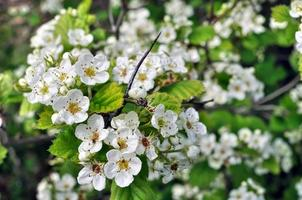 close-up of  blooming hawthorn photo
