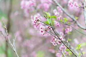 Cherry blossom or sakura flowers on Doi angkhang mountain chiang photo