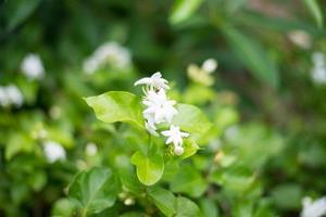 Jasmine or Arabian Jasmine.