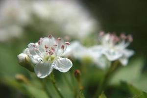 arbusto de espino floreciente