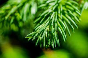 Green needles of a spruce tree photo