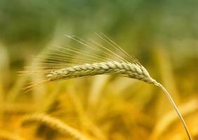 Barley ear photo