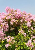 flores de color rosa buganvilla. foto
