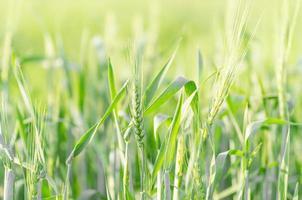 Barley field photo