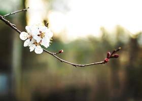 Apricot tree flowers photo
