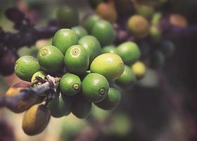 Coffee beans ripening photo