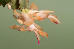 Christmas cactus flower