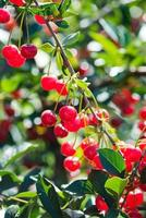 Cherries hanging on a cherry tree branch photo