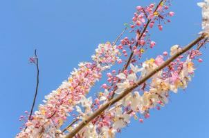 Cassia Grandis Flowers on Blue Sky photo