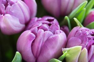 close-up macro shot of tulip photo