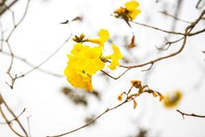 Yellow tabebuia spring blossom photo