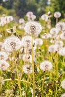 White dandelions in spring photo