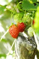 Strawberries on branch photo