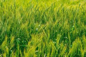 Hectares of barley