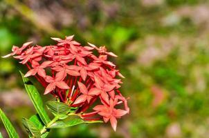 Red Ixora flower in garden