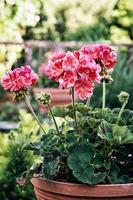 Potted pink Pelargonium flowers (Pelargonium hortorum) in the ga