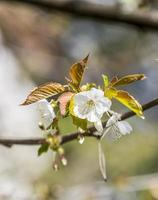 Blossoming of apple flowers in spring time with green leaves photo