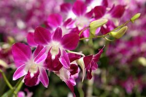 schöne lila Orchidee im Garten.