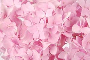 macrophylla de hortensia rosa foto