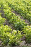 potato field, selective focus