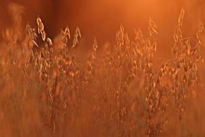 fondo borroso pasto seco atardecer