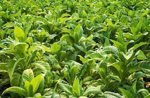 primer plano, hojas de tabaco foto