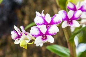 Purple orchid flowers in garden photo