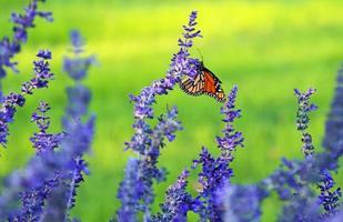 Lavender and monarch photo