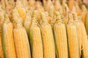Freshly harvested corn, close up
