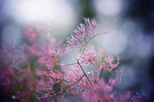 Abstract nature : Pink Cotinus americanus or Smoketree