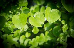 primer plano de las hojas en forma de corazón. foto