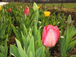 Tulip field with multi colored tulips