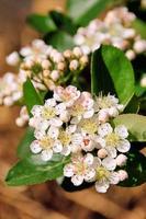 chokeberries flower
