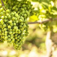 Vineyards photo