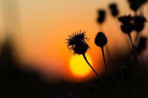 Thistle flowers on sunset sky