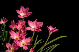 Closeup, pale pink ,amaryllis flower,  black background ,  big blossoms.