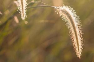 Dwarf Foxtail Grass photo