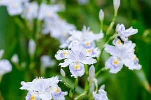 iris japonica foto