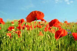 Scenic landscape with flowers poppies against the sky (rest, rel photo