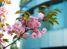 bright pink flowers on a branch of plum photo
